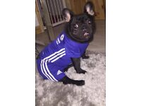 Gorgeous male French bulldog please read below