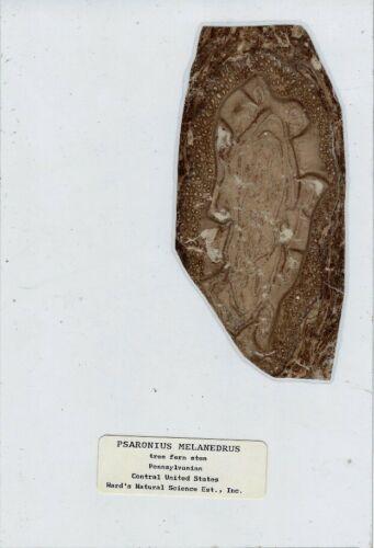Large Coal Ball Peel of Psaronius melanedrus Microscope Slide