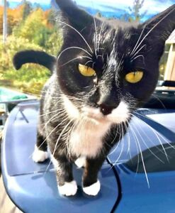 Lost female tuxedo cat - woodlands area