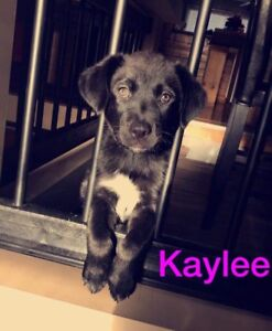Border Collie Adopt Or Rehome Pets In Manitoba Kijiji Classifieds
