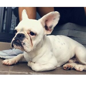French bulldog Blakehurst Kogarah Area Preview