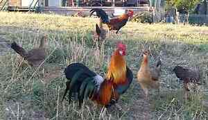 Chickens for sale. Wallaroo Gungahlin Area Preview