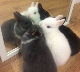 🐰pure baby Netherlands dwarf rabbits