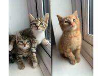 Adorable Kittens TABBY GINGER READY NOW
