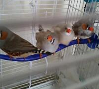 FREE Zebra Finches to Good Home