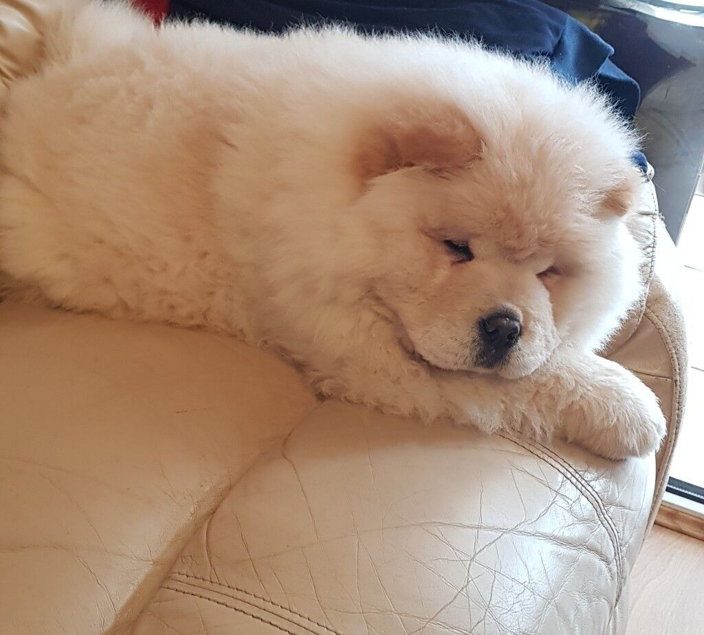 Chow Chow Puppies In Spalding Lincolnshire Gumtree