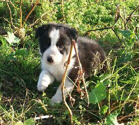 Border Collie Puppies- Kilkeel, Co.Down