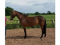 13.2 stunning mare 4 yrs by Aimbry Chester