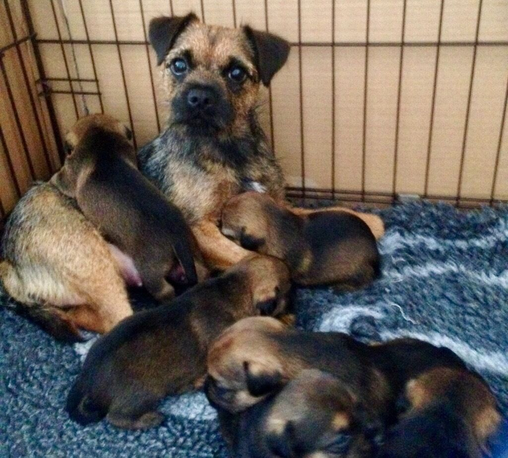 Gorgeous Border Terrier puppies, Pedigree / KC Registered | in ... | Border Terrier Puppies For Sale Dorset