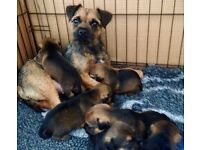 Gorgeous Border Terrier puppies, Pedigree / KC Registered