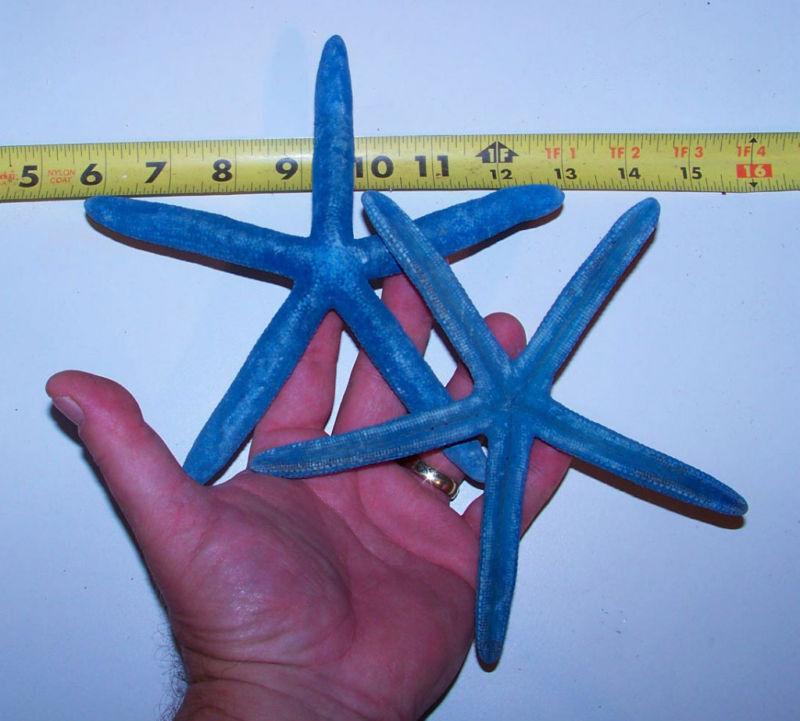 2 BEAUTIFUL REAL BLUE STARFISH STAR FISH SEA SHELLS  Item # bsf6-2