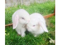 Beautiful Baby Mini Lop Rabbits