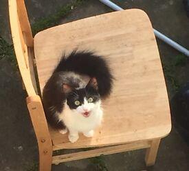 Long heird cat for sale