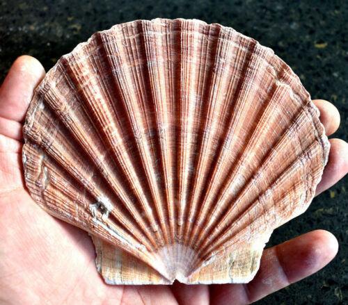 """1 Large Irish Flat Scallop Shell Seashell 4""""+ Crafts Beach Cottage Nautical Art"""