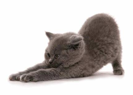 british blue kitten wanted Altona Meadows Hobsons Bay Area Preview