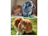 Temporary home for two bunnies needed - can you help??