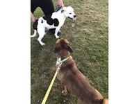 Staffie/terrier