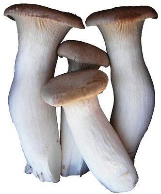 Trumpet Mushrooms - 2 lbs US Grown Fresh Royal Trumpet Mushroom King Oyster Mushrooms Free Shipping