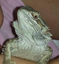 Bearded dragon + enclosure Kewarra Beach Cairns City Preview