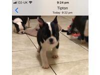 Frenchiexboston puppies