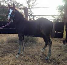 CRACKING PART WELSH COLT - PERFORMANCE PROSPECT Toowoomba Toowoomba City Preview