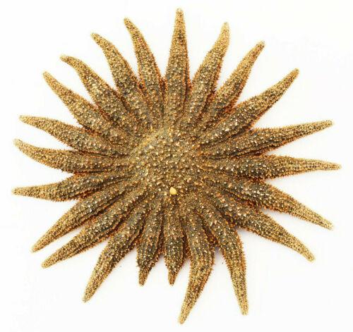 "Beautiful Brown Multileg ""Sunflower"" Starfish 4-6"" Beach Crafts Ocean Art Decor"