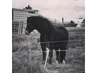 Welsh D cob mare by Menai Sparkling Image