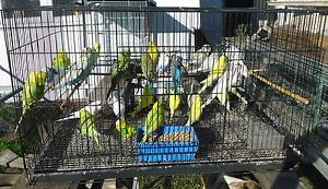 Mature and Baby Budgies Blacktown Blacktown Area Preview