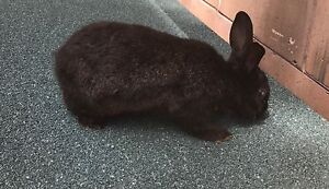 Free to good home Black male rabbit   for adoption Fannie Bay Darwin City Preview