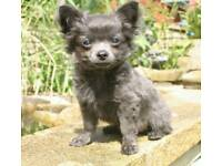 Boy kc ref Chihuahua puppy