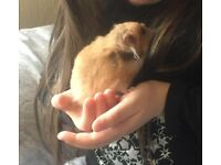 Ready for Adoption - Albert Male Syrian Hamster