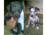 Lurcher Puppies for Sale in Cornwall