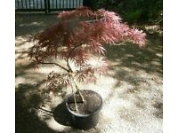 "JAPANESE MAPLE TREE /PATIO PLANT ACER DISSECTUM ""GARNET"""