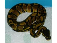 4 hatchling ball pythons