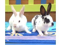 Beautiful mini Rex rabbits 10 weeks old