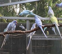 Indian ringnecks Burpengary Caboolture Area Preview