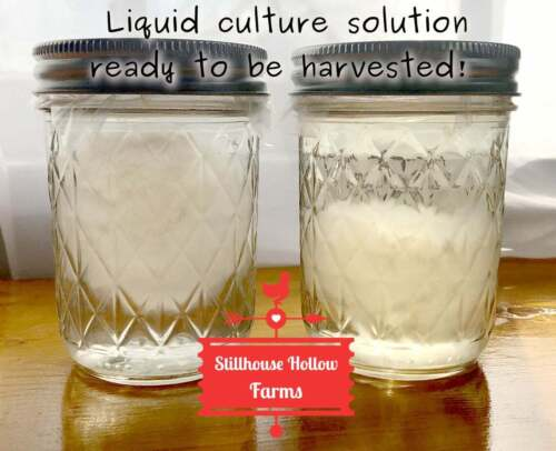 Mushroom Liquid Culture Solution - Pressure-Sterilized