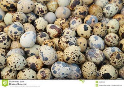 14 Jumbo Brown Coturnix Quail Hatching Eggs