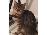 Lost Bengal cat NEUTERED