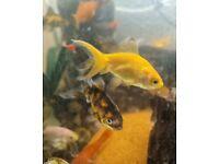 Amazing Gold Fish Faintail DIFFERENT COLOURS