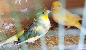 2 female german roller canaries