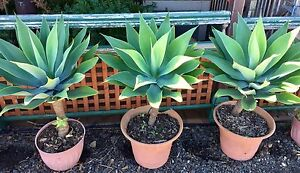 Agave tall plants - three(3) of  X-large (in 400mm pots) Liverpool Liverpool Area Preview