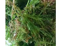 Tropical fresh water flame moss