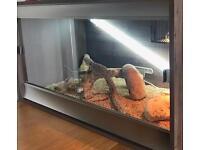 Bearded Dragon & Full viv set up FOR SALE
