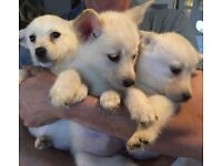 3 white/yellow Huskador puppies for sale. mother husky, father yellow lab. Both can be seen.