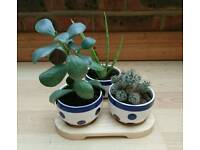 Lucky Trio - Aloe Vera, Money Plant & Cactus
