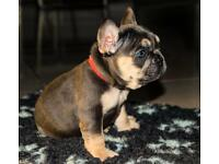 10 Kc reg French bulldog puppies stunning short and chunky