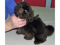 5 beautiful Shih Tzu puppies K. C Reg.