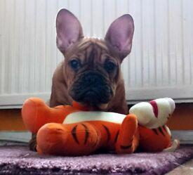 French Bulldog - red FEMALE PUPPY