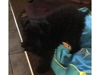 Kerry Blue Terrier 4 months old puppy for sale